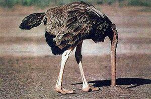 Struisvogel rukt zijn eigen kop eraf!